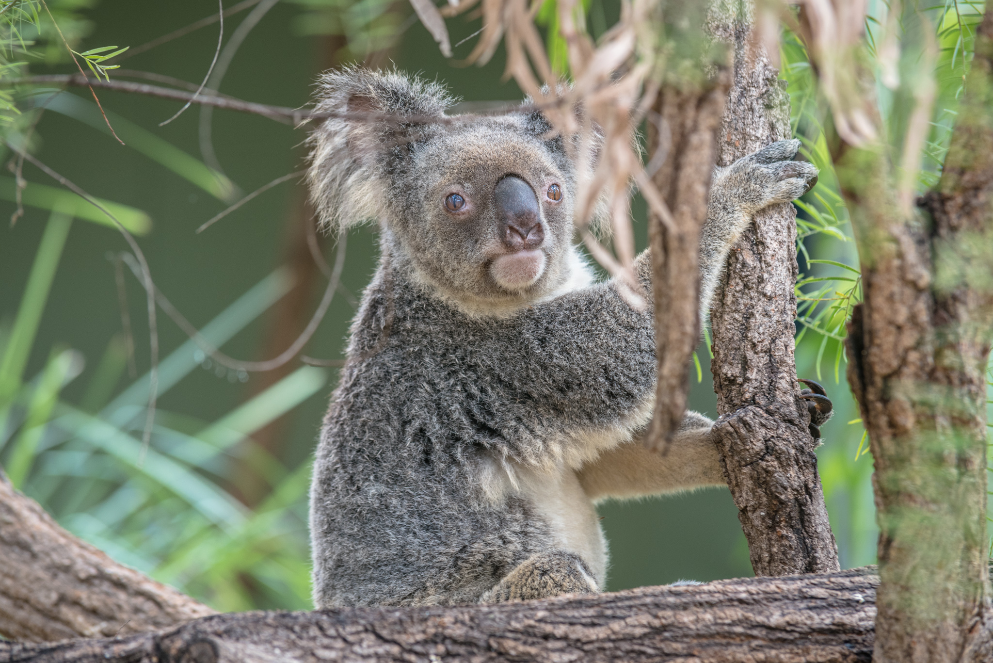 Koalabär im Baum in Australien